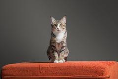 Gatito que se sienta en el sofá anaranjado rasguñado de la tela Imagen de archivo