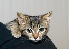 Gatito rayado gris y negro del gato atigrado que se aferra en el hombro de la persona Fotografía de archivo