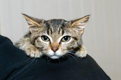 Gatito rayado gris y negro del gato atigrado que se aferra en el hombro de la persona Fotografía de archivo libre de regalías