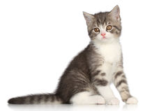 Gatito recto de Scotish en un fondo blanco Imagenes de archivo
