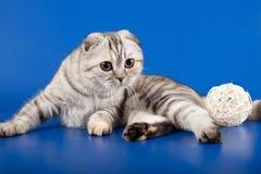 Gatito recto escocés Fotografía de archivo