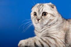 Gatito recto escocés Foto de archivo libre de regalías