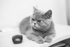 Gatito recto escocés Imagenes de archivo