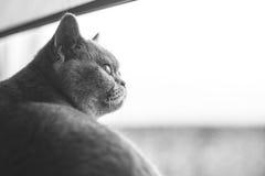 Gatito recto escocés Imagen de archivo libre de regalías