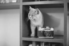 Gatito recto escocés Foto de archivo