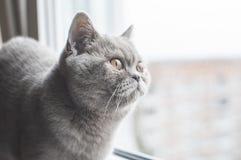 Gatito recto escocés Fotos de archivo libres de regalías