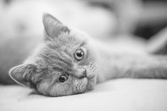 Gatito recto escocés Imágenes de archivo libres de regalías