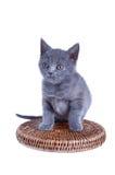 Gatito recto escocés aislado en blanco Imagen de archivo libre de regalías