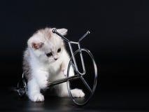 Gatito recto escocés de la casta. Imagen de archivo