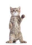 Gatito recto escocés derecho del gato que parece para arriba aislado sobre el fondo blanco imagenes de archivo