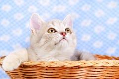 Gatito recto escocés en una cesta Imagen de archivo