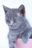 Gatito recto escocés que se sienta en taza rosada Fotos de archivo libres de regalías