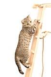 Gatito recto escocés que sube las escaleras de madera Foto de archivo libre de regalías