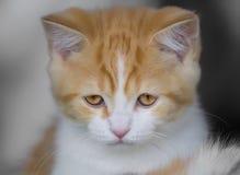 Gatito recto escocés rojo Imágenes de archivo libres de regalías