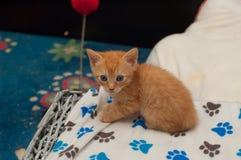 Gatito rojo Imagen de archivo libre de regalías