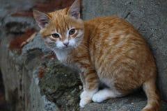 Gatito rojo Fotos de archivo libres de regalías