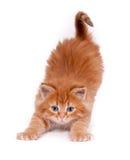 Gatito rojo aislado en un fondo blanco Imagen de archivo libre de regalías