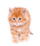 Gatito rojo aislado en un fondo blanco Imágenes de archivo libres de regalías
