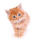 Gatito rojo aislado en un fondo blanco Imagenes de archivo