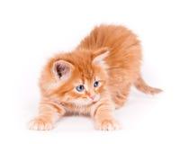 Gatito rojo aislado en un fondo blanco Fotos de archivo libres de regalías