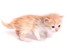 Gatito rojo aislado en un fondo blanco Foto de archivo libre de regalías