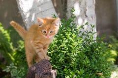 Gatito rojo del Sud en un tocón en un día de verano en el parque En crecimiento completo Temas animales foto de archivo libre de regalías