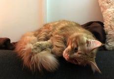 Gatito rojo lindo de Maine Coon Fotografía de archivo libre de regalías