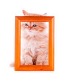 Gatito rojo que se sienta en un marco de madera Imagen de archivo