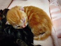 Gatito rojo recién nacido Imagenes de archivo