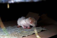 Gatito rojo recién nacido Imagen de archivo libre de regalías