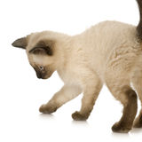 Gatito siamés imágenes de archivo libres de regalías