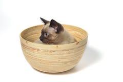 Gatito siamés Imagen de archivo libre de regalías