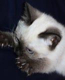 Gatito siamés Fotografía de archivo libre de regalías