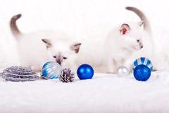 Gatito siamés con las bolas azules de la Navidad Imagen de archivo libre de regalías