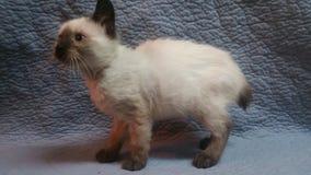 Gatito siamés de la cola cortada del americano imagen de archivo