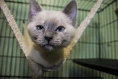 Gatito siamés que goza de la hamaca Foto de archivo libre de regalías