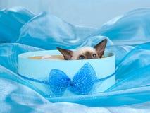 Gatito siamés bastante lindo en rectángulo de regalo azul Fotografía de archivo