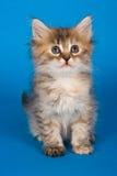 Gatito siberiano Fotos de archivo libres de regalías