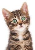 Gatito siberiano Fotos de archivo