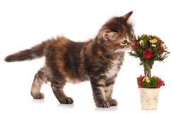 Gatito siberiano Foto de archivo