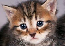 Gatito siberiano Fotografía de archivo libre de regalías