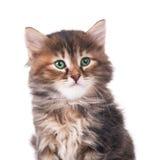 Gatito siberiano Fotografía de archivo