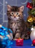 Gatito siberiano lindo Fotografía de archivo