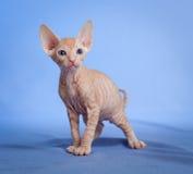 Gatito sin pelo divertido del tabby del sphynx en azul fotografía de archivo