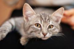 Gatito soñoliento en rodillas de las muchachas gatito casero con una cara atractiva linda vida despreocupada del animal doméstico foto de archivo