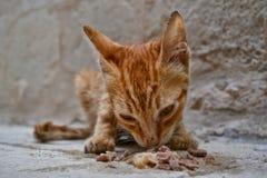 Gatito subalimentado del jengibre perdido que come la comida para gatos mojada Fotos de archivo libres de regalías