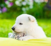 Gatito suizo blanco el dormir del abarcamiento del perrito del ` s del pastor en la almohada Foto de archivo libre de regalías