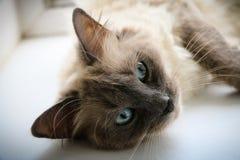 Gatito tailandés del Sweety imagen de archivo libre de regalías