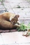 Gatito travieso masculino blanco y amarillo Fotos de archivo