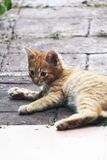 Gatito travieso masculino blanco y amarillo Imagen de archivo libre de regalías